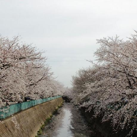 sakura_denugawa