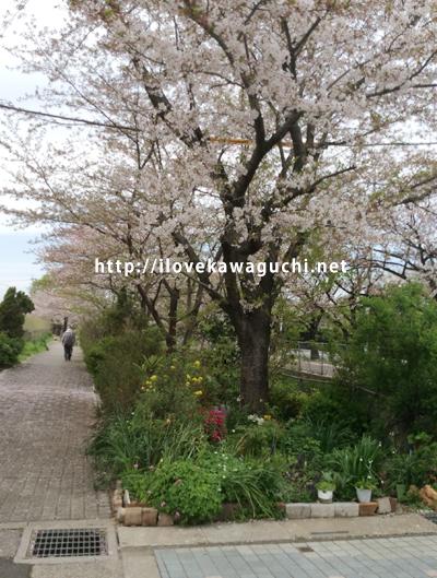 川口グリーンセンター付近の桜