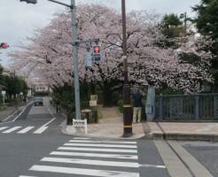 舎人団地付近の桜